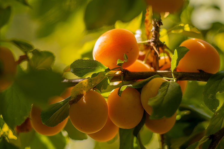 a group of fruits on a tree