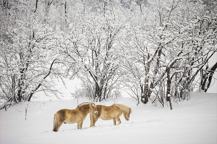 a couple of horses in a snowy field