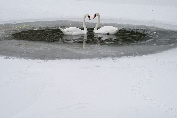 two swans swimming in water