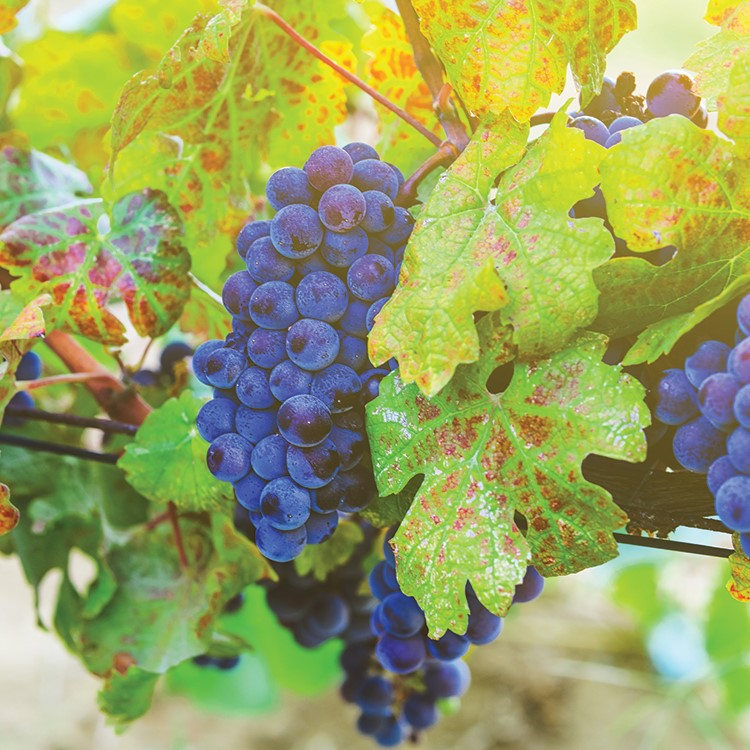 a close up of a bunch of grapes on a vine